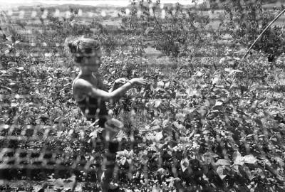 Récolte des Myrtilles, Saint Martin en Haut, 2014, Bernard Lesaing